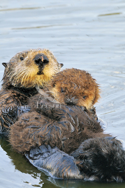 "Sea Otter (Enhydra lutris) mother with pup.  Young pups have light brown or yellowish fur called the ""natal pelage.""  This fluffy fur helps the pup stay afloat before it learns the intricacies of swimming, and it will be completely replaced with dark brown adult fur by the time the pup is about three months old."