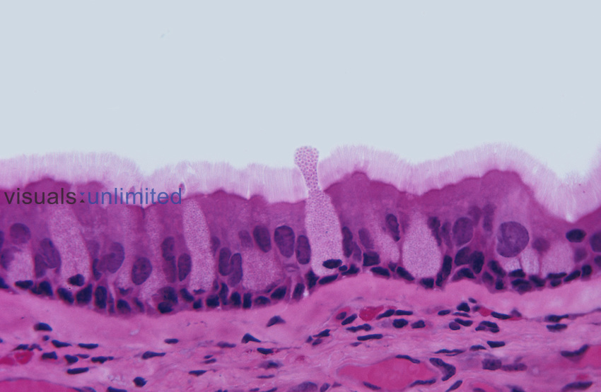 Trachea ciliated pseudostratified columnar epithelium section. LM X75