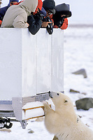 curious polar bear, Ursus maritimus, investigates tundra vehicle and people within, Churchill, Manitoba, Canada, Arctic, polar bear, Ursus maritimus