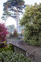 Cypress towering over Library Terrace Garden on misty morning; San Francisco Botanical Garden