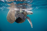 Olive Ridley sea turtle, Lepidochelys olivacea, mating, Golfo de Papagayo, Parque Nacional Santa Rosa, Costa Rica, Pacific Ocean