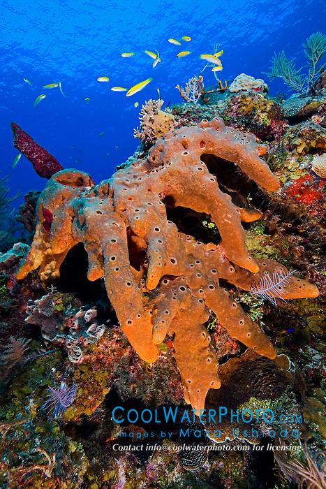 Brown Encrusting Octopus Sponge or Brown Volcano Sponge, Ectyoplasia ferox, West End, Grand Bahamas, Atlantic Ocean
