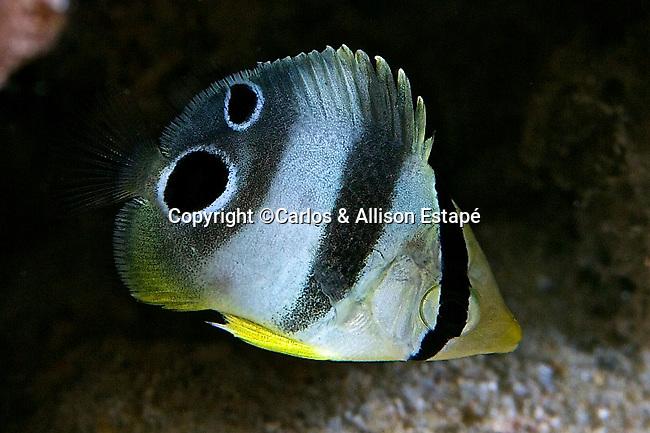 Chaetodon capistratus, Foureye  butterflyfish, juvenile, Bonaire