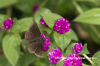 03657-00303 Common Sootywing (Pholisora catullus) on Globe Amaranth (Gomphrena globosa) Marion Co. IL