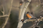 American robin, (Turdis migratorius), perched on aspen branch, spring, Rocky Mountain National Park, Colorado, USA