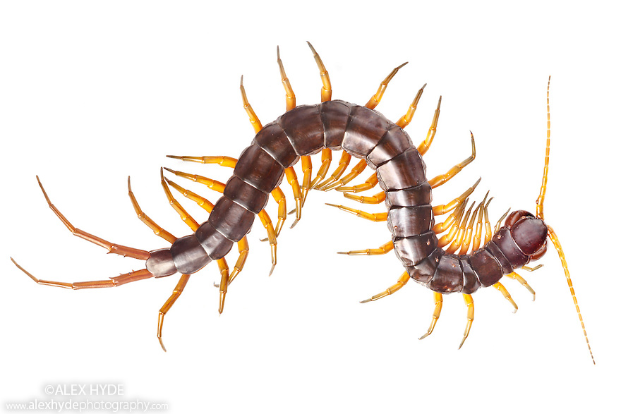 Huge Centipede {Chilopoda} photographed on a white background in mobile field studio in tropical rainforest. Danum Valley, Sabah, Borneo, Malaysia.