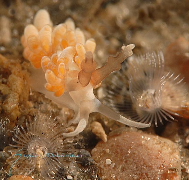 Favorinus auritulus, nudibranch