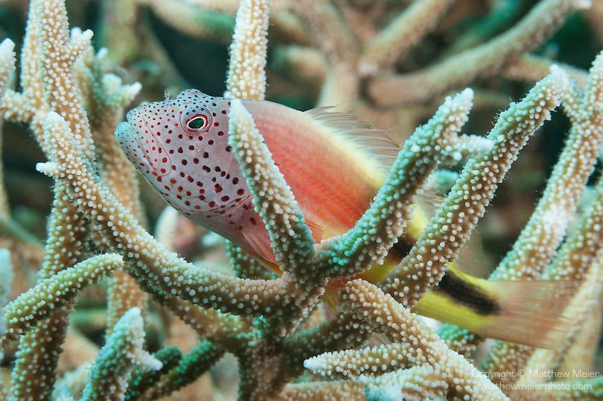Vadinolu Giri, Laamu Atoll, Maldives; a Freckled Hawkfish (Paracirrhites forsteri) perched on a colony of staghorn corals