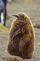 Young (half grown) King penguin (Aptenodytes patagonicus), South Georgia Island