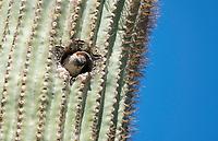 Male House Sparrow, Passer domesticus, nests in a Saguaro cactus, Carnegiea gigantea, in the Desert Botanical Garden, Phoenix, Arizona
