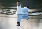 Black Headed Gull, Chroicocephalus ridibundus, Kuhmo, Finland, Lentiira, Vartius near Russian Border, swimming on lake, reflection