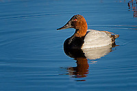 Canvasback, Bosque del Apache NWR, New Mexico