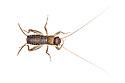 Scaly Cricket male (Pseudomogoplistes vicentae) 6th instar, photographed on a white background. England, UK. Captive.