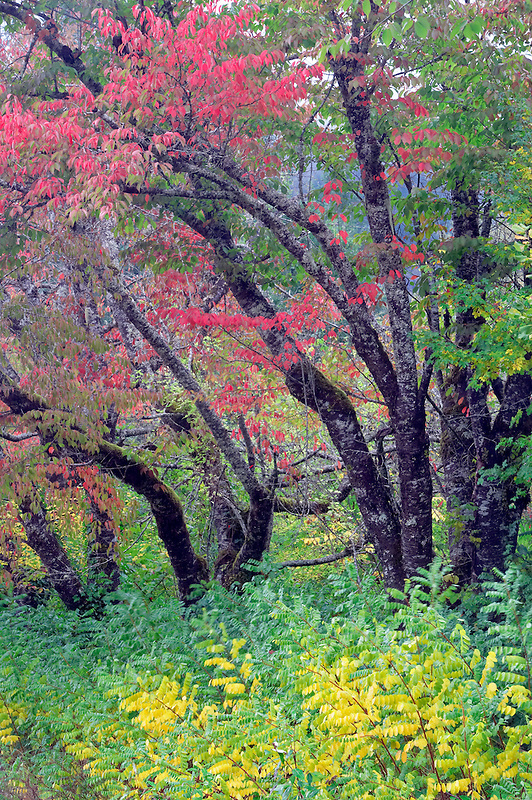 Cherry trees in fall color. Near Newhalem. Washington