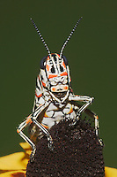 Painted Grasshopper (Dactylotum bicolor), adult on Clasping-leaved Coneflower (Dracopis amplexicaulis), Sinton, Corpus Christi, Coastal Bend, Texas, USA