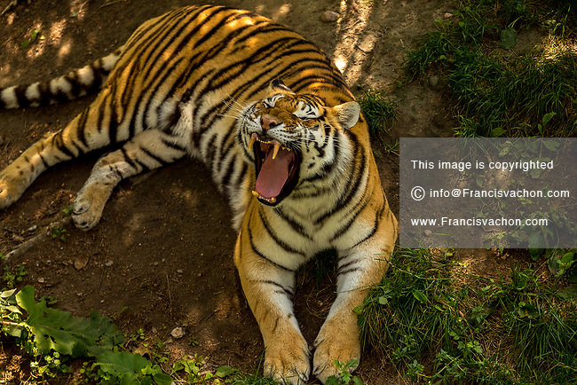 An Amur Tiger (also known as Siberian Tiger) is seen at the Zoo Sauvage in St. Felicien, Quebec Saturday August 26, 2017.