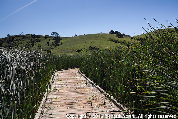 A wooden pathway weaves through the tall green wetland grasses, revived by the winter's rain, at Coyote HIlls Regional Park, Fremont, California.