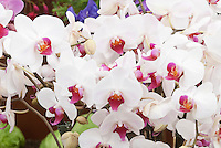White Phalaenopsis moth orchids with red colored lip showingmany flowers in bloom