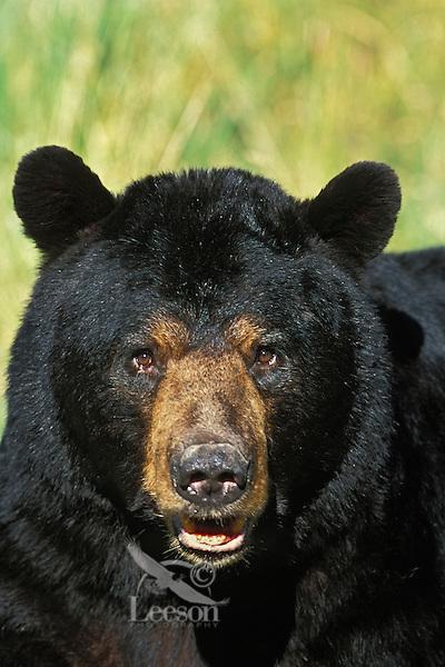 Black Bear (Ursus americanus).  Minnesota.  Summer. Male or boar.