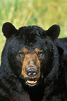 Black Bear (Ursus americanus).  Minnesota.  Summer. Male or boar.