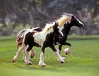 Gypsy Vanner mare trots with foal at side.