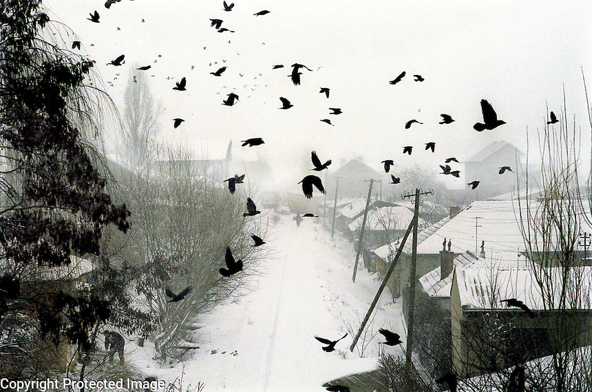 KOSOVO. Pristina. Jan 2000..Kosovo blackbirds fly over a Pristina suburb.
