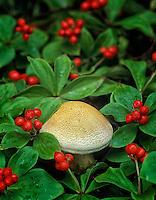Dwarf Dogwood berries (Cornus candensis) with mushroom. Near Fairbanks, Alaska