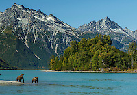 Grizzly bear sow and cub along Crescent Lake in Lake Clark National Park with the Chigmit Mountains background  early fall landscape.  2015  Alaska
