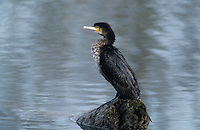 Great Cormorant, Phalacrocorax carbo, immature, Dersbach, Zug, Switzerland, January 1992