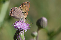 Purplish Copper; Lycaena helloides; on thistle; Colorado; High Lonesome Ranch; Garfield County