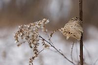 Praying Mantis egg case on goldenrod - winter; Tenodera aridifolia; PA, Philadelphia, Fairmount Park