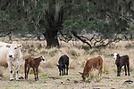 Brazoria County, Damon, Texas; several newborn calves, only a few days old, staying close to their mothers in the pasture, the calf's coloration a clear indication of the fathers influence