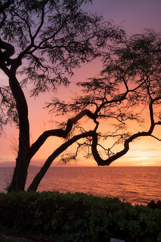 Branching tree and sunset. Maui, Hawaii.