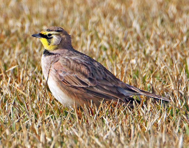 Adult horned lark