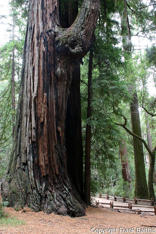 redwood loop at Big Basin SP
