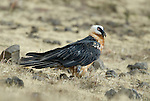 Lammergeier, Bearded Vulture, Gypaetus barbatus, Simien Mountains National Park, Ethiopia, .Africa....