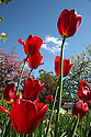 Red tulips in garden with blue sky