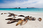 A colny of sea lions nap on a sandy beach on the island of Espanola in the Galapgos National Park, in Ecuador, South America