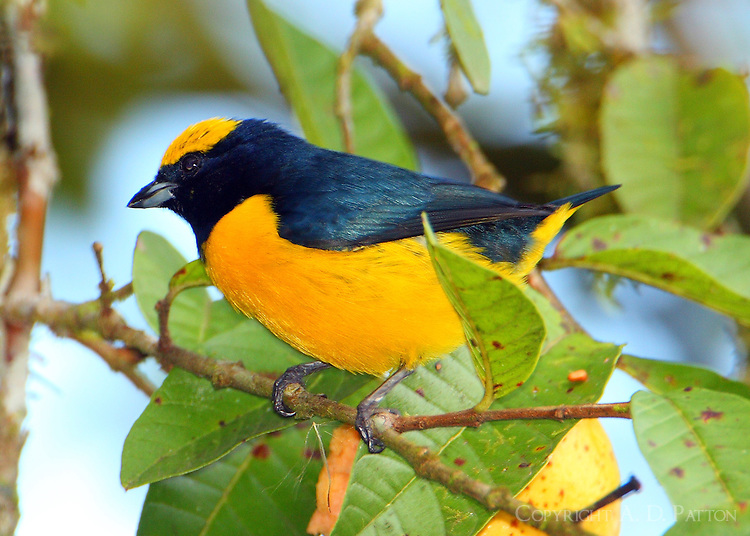 Male yellow-crowned euphonia