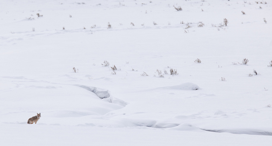 An individual coyote finds its way through the snowy landscape in the Lamar Valley area of Yellowstone National Park.