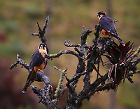Pair of aplomado falcons