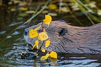 North American Beaver (Castor canadensis) eating bark off aspen tree limb.  Northern Rockies,  Fall.