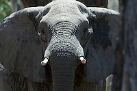 Elephant (loxodonta africana) in Moremi, Botswana. <br /> September 2007.