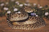Western Diamondback Rattlesnake (Crotalus atrox), adult in defense pose, Starr County, Rio Grande Valley, Texas, USA