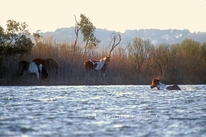 Wild Pony Swimming #W22