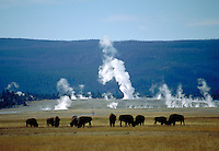 Western scene. A herd of buffalo or bison peacefully graze near the white steam clouds and hot water squirts of several geysers. Yellowstone Montana, Yellowstone National Park.