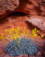 Valley of Fire State Park, NV    <br /> Brittlebush (Encelia farinosa) and weathered Navajo Sandstone