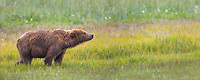 Brown bear in a grassy meadow, Katmai National Park, Alaska Peninsula, southwest Alaska.