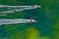 Common loons (Gavia immer) on Killarney Lake<br /> Killarney Provincial Park<br /> Ontario<br /> Canada