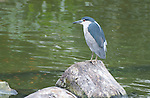 Black-crowned Night Heron, Hong Kong, Kowloon